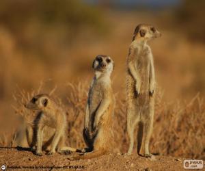 Rompicapo di Il suricato