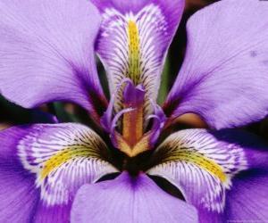 Rompicapo di Iris
