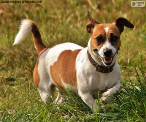 Rompicapo di Jack Russell Terrier