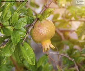 Rompicapo di La granata sull'albero