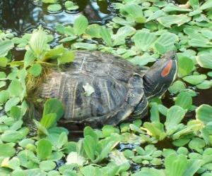 Rompicapo di La tartaruga dalle orecchie rosse