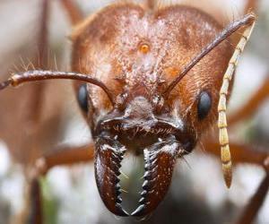 Rompicapo di La testa di formica