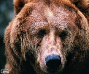 Rompicapo di La testa di un grande orso