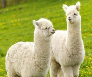 Rompicapo di L'alpaca è una specie domestiche