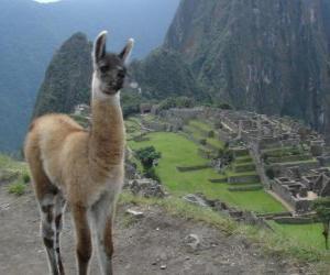 Rompicapo di Lama, l'animale più conosciuta dell'antico impero Inca