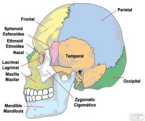 Rompicapo di Le ossa del cranio umano