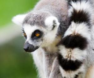 Rompicapo di Lemure dalla coda ad anelli o lemure catta
