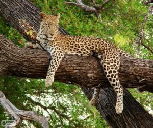 Rompicapo di Leopardo di riposo