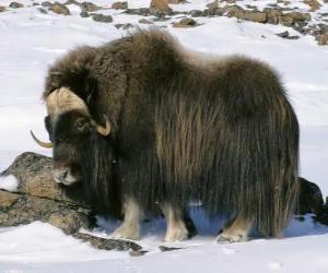 Rompicapo di Lo yak