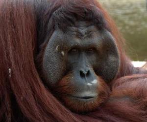 Rompicapo di L'orango del Borneo