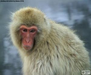 Rompicapo di Macaco giapponese
