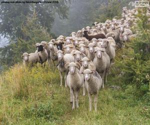 Rompicapo di Mandria di pecore