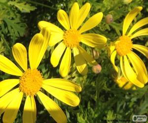 Rompicapo di Margherite gialle