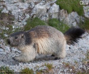Rompicapo di Marmotta delle Alpi
