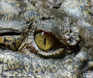 Rompicapo di Occhio del coccodrillo