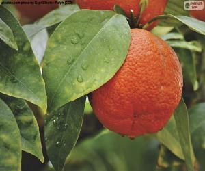 Rompicapo di Orange nell'albero
