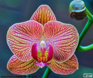 Rompicapo di Orchidea Phalaenopsis