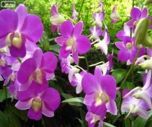 Rompicapo di Orchidee Lilla