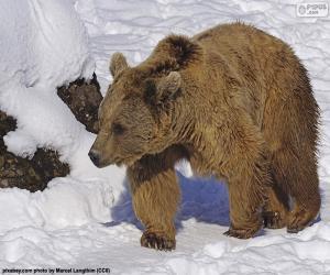 Rompicapo di Orso bruno sulla neve