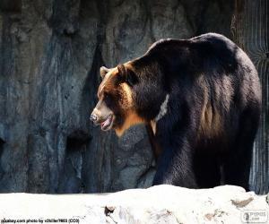 Rompicapo di Orso dal collare o tibetano