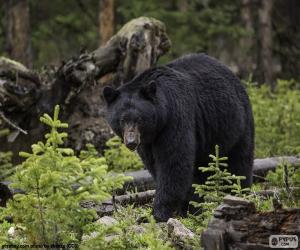 Rompicapo di Orso nero