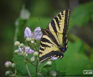 Rompicapo di Papilio glaucus, farfalla originaria dell'est nord America