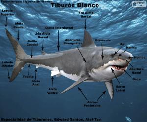 Rompicapo di Parti dello squalo bianco