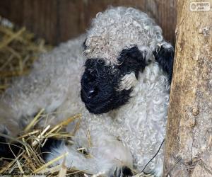 Rompicapo di Pecore di naso nero