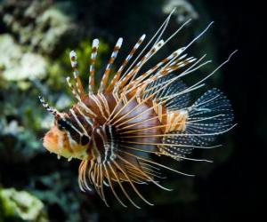 Rompicapo di Pesce scorpione, Pesce cobra o Pesce leone