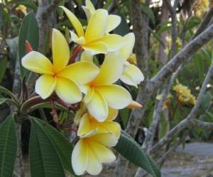 Rompicapo di Plumeria giallo