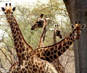 Rompicapo di Quattro giraffe