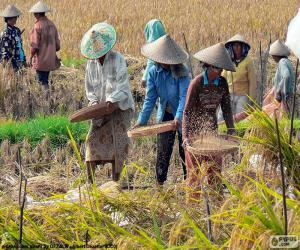 Rompicapo di Raccolta del riso, Indonesia