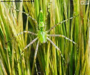 Rompicapo di Ragno lince verde
