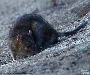Rompicapo di Ratto