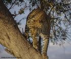 Leopardo o pantera sul ramo di un albero