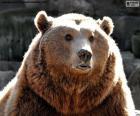 Fronte dell'orso