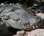 Testa di coccodrillo