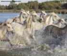 Mandria di cavalli selvaggi attraverso l'acqua