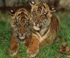 Giovani tigri