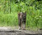 Lynx, con forte gambe, orecchie lunghe, coda breve e cappotto screziato