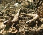 Grandi lucertole su une roccie
