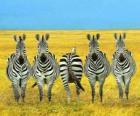 Cinque zebre