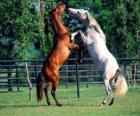 Due cavalli scalpitanti