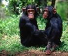 Due scimmie seduto sul pavimento