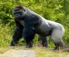 Grande gorilla