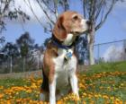 Beagle o Bracchetto