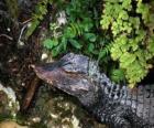 Testa di un coccodrillo che resta in attesa di una preda tra le piante