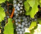 Un grappolo di uva