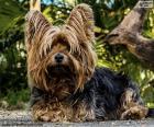 Cane Terrier con i peli lunghi