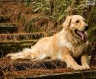Golden Retriever, in giardino